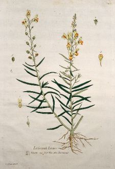 Grafiken, Regnault, Kleines Löwenmaul, 1774: La Grande Linaire. Linaria. Toad Flax. Flachskraut