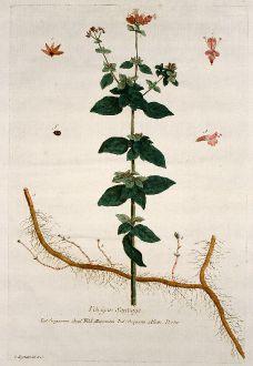 Graphics, Regnault, Wild Marjoram, 1774: L`Origan Sauvage. Origanum. Wild Marjoram. Origano. Dorten.