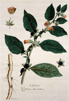Graphics, Regnault, Atropa, 1774: La Belladone. Belladona. Dollkraut.