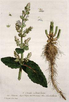 Graphics, Regnault, Clary, 1774: L'Orvale ou Toute bonne. Sclarea. Clary. Hormino. Scharlachkraut.