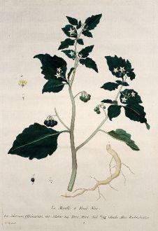 Grafiken, Regnault, Schwarzer Nachtschatten, 1774: La Morelle a Fruit Noir. Solamun, Officinarum. Solatro. Yerva, Mora. Nigt-Schade. Rachtschatten.