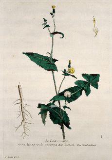 Graphics, Regnault, Sow Thistle, 1774: Le Laitron doux. Sonchus. Soncho. Serraya. Sawhistle. Sonchenkraut.