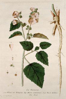 Grafiken, Regnault, Eibisch, 1774: La Guimauve. Althoea. Malvavisco. Hierva Cannamera. Marsh Mallows. Ibisch.