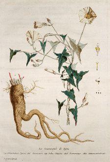 Grafiken, Regnault, Purgierwinde, 1774: La Scammonée de Syrie. Scammonia Syriaca. Scammonia. Yedra Campana. Scammonye. Scammonienkraut.