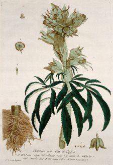 Grafiken, Regnault, Christrose, 1774: L'Ellebore noir, Pied de Griffon. Helleborus niger. Elleboro nero. Yerva de Vallasteros. Orehele and Setterworte....