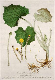 Grafiken, Regnault, Huflattich, 1774: Le Pas d'Asne ou Tussilage. Tussilago Farfara. Unghia di Cavallo. Unha de Asne. Cotler Foote. Rossfuss, Gselhuff.