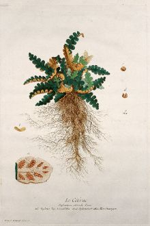 Graphics, Regnault, Spleenwort, 1774: Le Cétérac. Asplenium ceterach. Aspleno. Doradilha. Spleenwort. Hirschzungen.