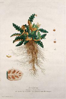 Grafiken, Regnault, Streifenfarn, 1774: Le Cétérac. Asplenium ceterach. Aspleno. Doradilha. Spleenwort. Hirschzungen.