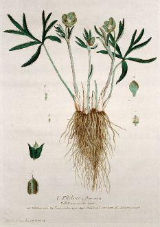 Grafiken, Regnault, Grüne Nieswurz, 1774: L'Ellebore a fleur verte. Helleborus viridis. Elleboro nero. Verde gambre negro. Orchole and Setterworte. Schwartniesemurt.