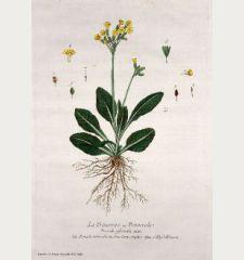 La Primevere ou Primerole. Primula officinalis. Primulaveris odorata flore Luteo simplici. Schlusselblumen.