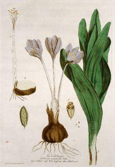 Grafiken, Regnault, Herbstzeitlose, 1774: Le Colchique. Colchicum autumnale. Colchico. Wild Saffron. Reitlozen.