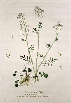 Grafiken, Regnault, Wiesen-Schaumkraut, 1774: Le Cresson des Prés. Cardamine Pratensis. Nasturtio. Ladies Smock. Gauchbluhme.