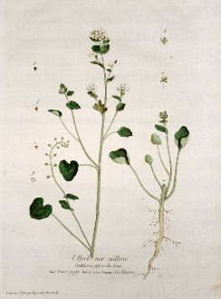 Graphics, Regnault, Common Scurvygrass, 1774: L'Herbe aux cuilliers. Cochlearia officinalis. Scurvi-grass. Cochlearia
