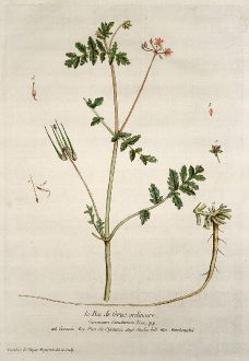 Grafiken, Regnault, Storchschnabel, 1774: Le Bec de Grue ordinaire. Geranium Cicutarium. Geranio. Pica de Cigauna. Storkes bill. Storchsnabel.