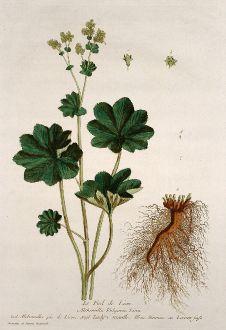Grafiken, Regnault, Frauenmantel, 1774: Le Pied de Lion. Alchemilla Vulgaris. Alchimilla pie de Lione. Lady's Mantle. Sinnau ou Loeven-fuss