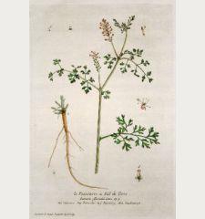 La Fumeterre ou Fiel de Terre. Fumaria officinalis. Fumoterre. Palomilha. Fumoterry. Zaubentropt.