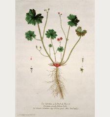 La Geraine ou le Pied de Pigeon. Geranium rotundi folium. Geranio colombino. Dooves poote. Zaubenfug.