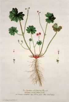 Grafiken, Regnault, Tauben-Storchschnabel, 1774: La Geraine ou le Pied de Pigeon. Geranium rotundi folium. Geranio colombino. Dooves poote. Zaubenfug.