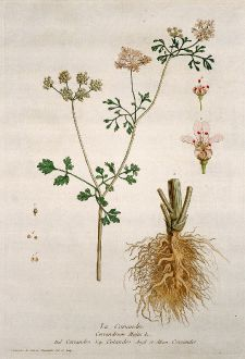 Graphics, Regnault, Coriander, 1774: La Coriandre. Coriandrum Majus. Coriandro. Culandro. Coriander.