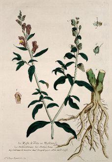 Grafiken, Regnault, Löwenmaul, 1774: Le Mufle de Veau ou Mufleaude. Anthirrhinum. Anthirrhino. Cabezza de ternera. Snapdragon. Kalbsnase.