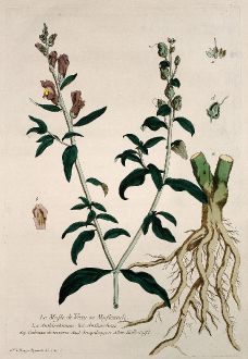 Graphics, Regnault, Snapdragon, 1774: Le Mufle de Veau ou Mufleaude. Anthirrhinum. Anthirrhino. Cabezza de ternera. Snapdragon. Kalbsnase.