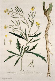 Graphics, Regnault, Rocket, Arugula, 1774: La Roquette Sauvage. Eruca Silvestris. Oruga. Great Rockat. Ruchetta. Rauchen.
