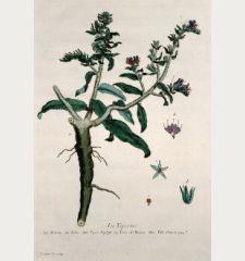La Viperine. Echium. Echio. Vipers Bugloss. Yerva del Bwora. Vild Ochsenzum.