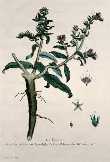 Grafiken, Regnault, Natternkopf, 1774: La Viperine. Echium. Echio. Vipers Bugloss. Yerva del Bwora. Vild Ochsenzum.