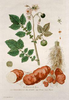 Grafiken, Regnault, Kartoffel Pflanze, 1774: La Pomme de Terre. Solanum Tuberosum. Grundbir. Potatoe. Papas.