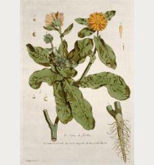 Le Souci de Jardin. Caltha. Calendola. Garden Marygolds. Rengel Gold Blumen.