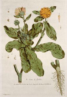 Grafiken, Regnault, Dotterblume, 1774: Le Souci de Jardin. Caltha. Calendola. Garden Marygolds. Rengel Gold Blumen.