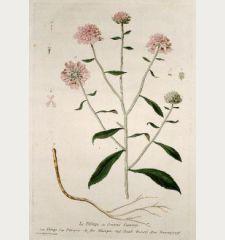 Le Thlaspi ou Sennevé Sauvage. Thlaspi. Paniqueso de flor Blanquo. Treacle Mustard. Baurenpsemff.