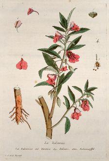 Graphics, Regnault, Garden Balsam, 1774: La Balsamine. Balsamina. Garanza. Balsame. Balsamapffel.