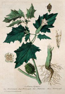 Graphics, Regnault, Devil s Trumpet, 1774: La Pomme Epineuse. Stramonium. Thorn-apple. Stramonio. Dorrenapfel.