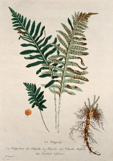 Graphics, Regnault, Common Polypody, 1774: Le Polypode. Polypodium. Polipodio. Filipodio. Polipodie, Okeferne. Engelsuf, Suffabren.