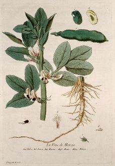 Grafiken, Regnault, Bohne, 1774: La Fêve de Marais. Faba. Fava. Havas. Bean. Bonen.