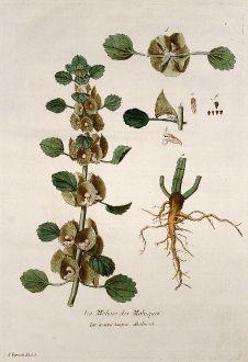 Grafiken, Regnault, Muschelblume, 1774: La Melisse des Moluques. Molucca.