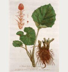 Le Pétasite Herbe aux Teigneux. Tussilago Petasites. Capellazi. Semberera. Butter-Burr. Pestilentz-Wurtz.