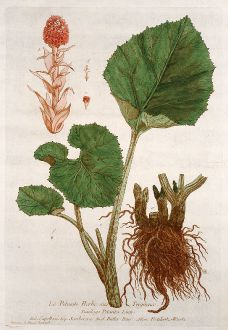 Graphics, Regnault, Butterbur, 1774: Le Pétasite Herbe aux Teigneux. Tussilago Petasites. Capellazi. Semberera. Butter-Burr. Pestilentz-Wurtz.