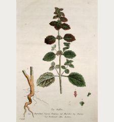 La Ballote. Marrubium Nigrum Foetidum. Marrobio. Marruio. Horehound. Andorn.