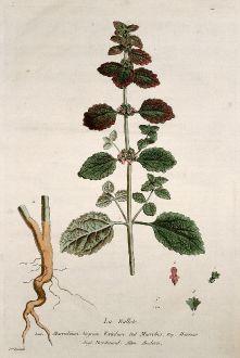 Grafiken, Regnault, Andorn, 1774: La Ballote. Marrubium Nigrum Foetidum. Marrobio. Marruio. Horehound. Andorn.