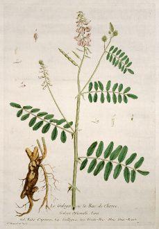 Grafiken, Regnault, Geissraute, 1774: Le Galega ou la Rue de Chevre. Galega Officinalis. Ruta Capraria. Gallegua. Goats-Rue. Geiss-Raute.