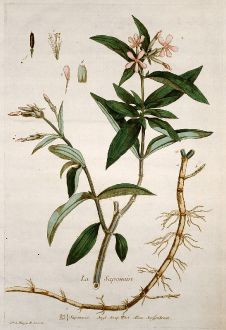 Grafiken, Regnault, Seifenkraut, 1774: La Saponaire. Saponaria. Soap Wort. Senffenkraut.