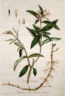 Graphics, Regnault, Soapwort, 1774: La Saponaire. Saponaria. Soap Wort. Senffenkraut.