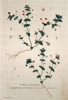 Grafiken, Regnault, Gauchheil, 1774: Le Mouron mâle et femelle. Anagallis. Anagallide. Muruges. Pimpernell. Gauchheyl.