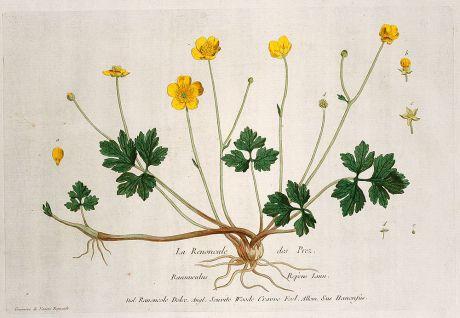 Grafiken, Regnault, Kriechende Hahnenfuß, 1774: La Renoncule des Prez. Ranunculus Repens. Ranoncole Dolee. Seuvite Woode Crawe Foel. Sus Hanenfus.