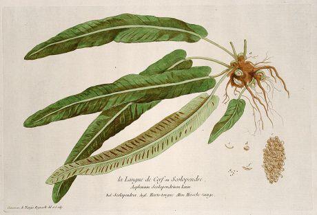 Grafiken, Regnault, Hirschzungenfarn, 1774: La Langue de Cerf ou Scolopendre. Asplenium Scolopendrium. Scolopendria. Harts-tongue. Hirsche-zunge.