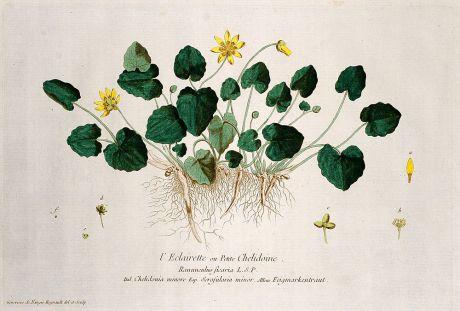 Grafiken, Regnault, Scharbockskraut, 1774: L'Eclairette ou Petite Chelidoine. Ranunculus ficaria. Chelidonia minore. Scrofularia minor. Feigmarkenkraut.