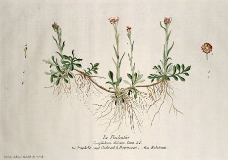 Graphics, Regnault, Cudweed, 1774: Le Piechatier. Gnaphalium dioicum. Gnaphalio. Cudweed & Dowueweed. Rubrtraut.