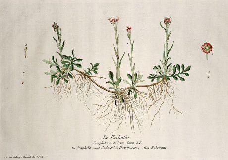 Grafiken, Regnault, Ruhrkräuter, 1774: Le Piechatier. Gnaphalium dioicum. Gnaphalio. Cudweed & Dowueweed. Rubrtraut.